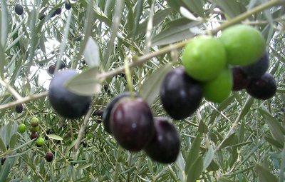 Olives_t